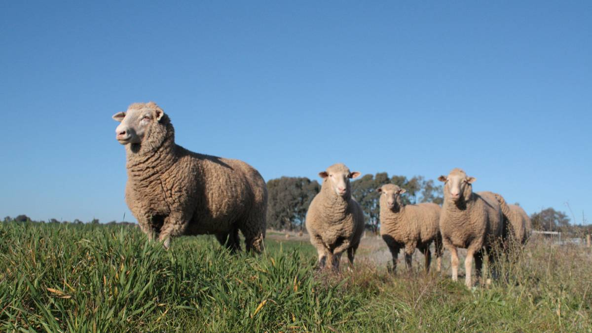 Lusty lambs: NSW Department of Primary Industries will deliver key advice on how to reduce sheep health risks for flocks grazing cereals and provide insights to boost omega-3 fatty acid levels in lamb and sheepmeat at the Graham Centre sheep forum this Friday July 7. Photo: supplied.