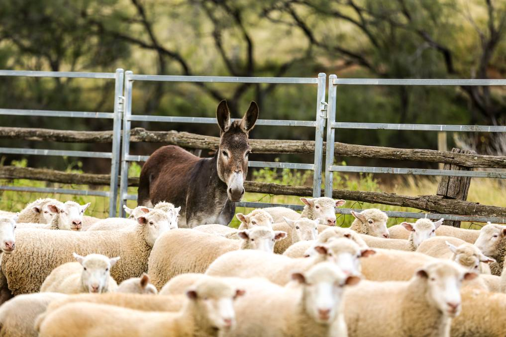 Feral donkeys from western NSW are helping Upper Hunter sheep producers in the fight against wild dogs. Photo: Hunter LLS